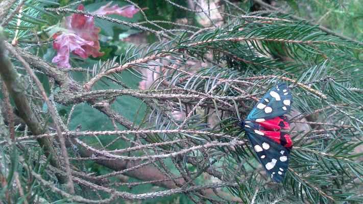 Přástevník hluchavkový - Callimorpha dominula. Je velmi variabilní v barvě i v kresbě. Vykytuje se především v blízkosti vody ve světlých smíšených lesích, na lesních pasekách, světlinách a lesních okrajích. Motýl je aktivní ve dne i v noci a nejčastěji nalétá na fialově nebo červeně kvetoucí rostliny. Autor snímku: T. Kvasnica