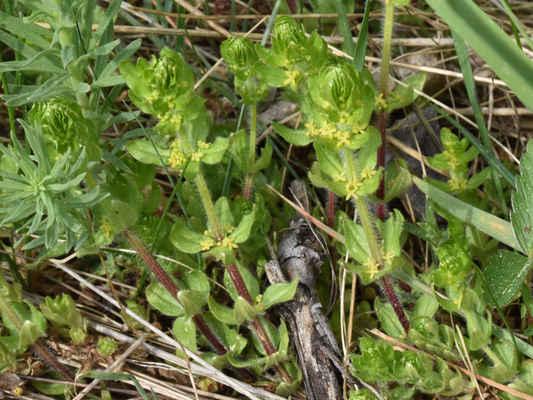 Svízelka chlupatá - Cruciata laevipes Opiz z čeledi mořenovitých, ze stejné čeledi, kam patří i významná léčivka mařinka vonná nebo obtížný plevel svízel přítula. Svízelku je možno najít na vlhčích okrajích lesů, indikuje živinami bohaté půdy. Autor snímku: J. Záhora
