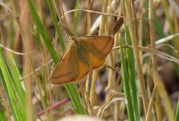Rudopásek polní - Lythria purpuraria. Na obrázku je sameček, který se liší vějířovými tykadly. Pomocí nich zachycuje pach samičky na velkou vzdálenost. Vyskytuje se na suchých výslunných lokalitách od května do října ve dvou generacích. Autor snímku: J. Sterzel