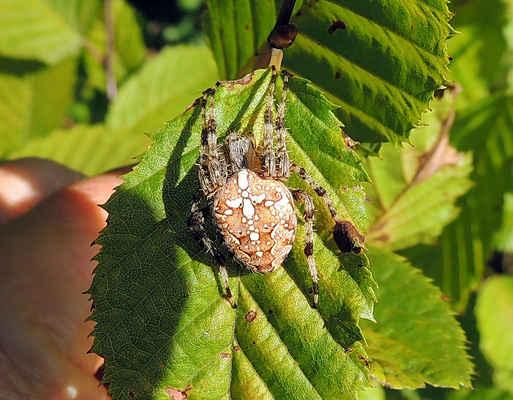 Křižák obecný - Araneus diadematus. Velký pavouk s charakteristickou kresbou po která má jméno. Staví vertikálně orientované velké sítě. Živí se mouchami a jiným hmyzem. Do obětí vypustí velké množství slin, které rozpustí jejich vnitřní orgány a ty vysaje. Je hojný v lidských obydlích i na lesních pasekách a okrajích lesů. Jemných pavučinových vláken křižáků se používalo v optice na osní kříže. Autor snímku: J. Sterzel