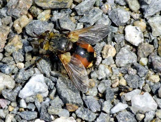 Kuklice červenonohá - Echinomyia fera. Jde o středně velkou mouchu, která má na těle ostré štětinky. Miluje teplo a sluneční svit a lze ji zastihnout na osluněných místech na květech miříkovitých rostlin. Klade vajíčka na housenky bekyní a sosnokaze, kterými se její larvy živí. Tím tvoří protiváhu k přemnožení lesnicky škodlivého hmyzu. Autor snímku: J. Sterzel
