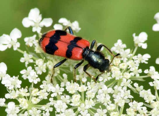 Pestrokrovečník včelový - Trichodes apiarius. Brouci se zdržují nejraději na miříkovitých rostlinách na osluněních stráních. Živí se pylovými zrny, ale také čekají na přílet drobnějšího hmyzu, který se stává jejich kořistí. Hlavními hostiteli jejich larev jsou včely čalounice, ale i včely medonosné. Larvy požírají mrtvé včely, larvy i kukly. Jimi způsobené škody jsou však minimální. Autor snímku: J. Sterzel