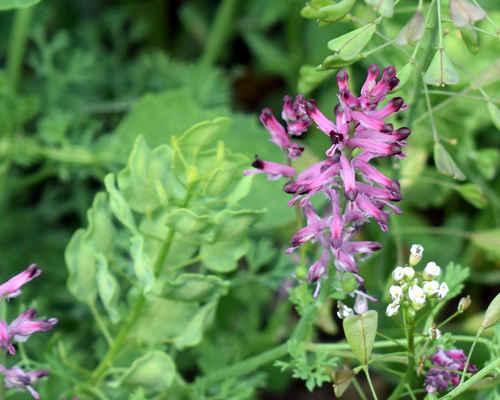Zemědým lékařský - Fumaria officinalis. Jedná se o jednoletou hodně rozšířenou plevelnou rostlinu, rostoucí ve všech zemědělských plodinách. Dříve  se pěstoval pro lékařské účely a dodnes se používá v lidovém léčitelství. Rostlina obsahuje žluté barvivo kterým se dříve barvila vlna. Autor snímku: J. Sterzel