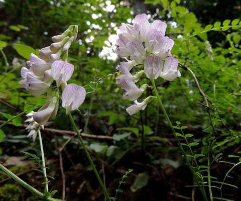 Vikev lesní - Vicia sylvatica. Kvete od června do srpna. Roste především na lesních okrajích, světlinách a podél lesních cest na půdách bohatých živinami. Jejich hlavními opylovači jsou čmeláci. Autor snímku: J. Sterzel