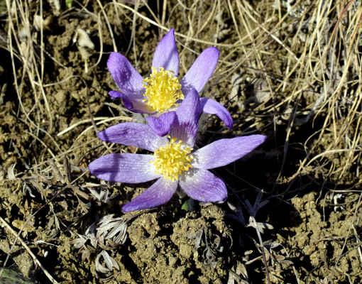 Koniklec velkokvětý - Pulsatilla grandis. Jedna z nekrásnějších květin rostoucí u nás pouze na Moravě. Na území Doubravníku roste na jediné lokalitě tvořené dolomitickým vápencem. Je typický pro suché výslunné stráně a byl pro Doubravník považován za vyhynulý. Koniklec je chráněný v kategorii C2. Autor snímku: J. Sterzel