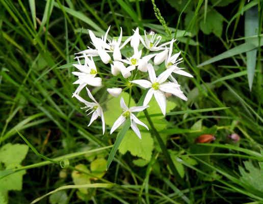 Česnek medvědí - Allium ursinum. Jde o známou léčivku, která je v poslední době velmi oblíbená v kuchyni. Její listy se používají do pomazánek, na pesto a pod. u nás roste na několika místech na pravém břehu Svratky. Autor snímku: J. Sterzel