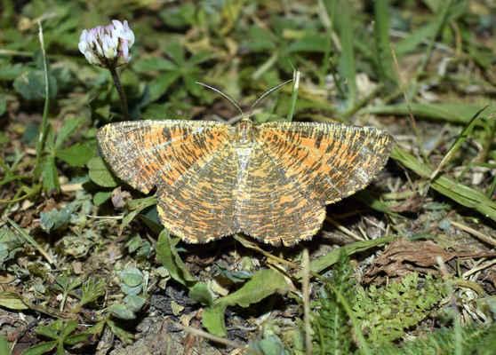 Zejkovec trnkový - Angerona prunaria. Motýl je ve zbarvení značně proměnlivý. Létá od května do července ve smíšených a listnatých lesích. Housenky žijí nízkých listnatých keřích. Autor snímku: J. Sterzel