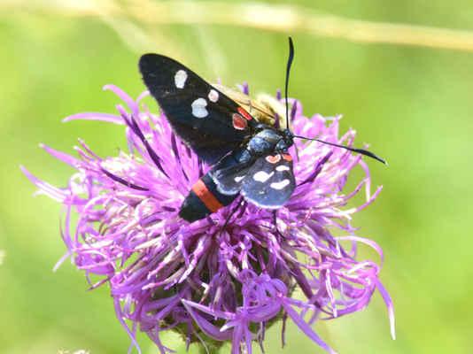 Vřetenuška čičorková - Zyganea  ephialtes. Barevně velmi variabilní. Skvrny mohou být bílé, červené nebo žluté. Také zadní křídla a pruh na zadečku buď červené nebo žluté. Patří mezi vzácnější druhy. Motýli létají od konce června do počátku srpna a s oblibou sedají na fialové květy. Autor snímku: J. Sterzel